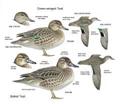 green winged teal u2013 advanced identification birding frontiers