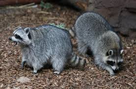 Raccoons In Backyard Do Raccoons Get Preferential Treatment Under State Law U2013 The