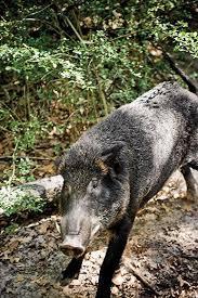 plague pigs texas science smithsonian