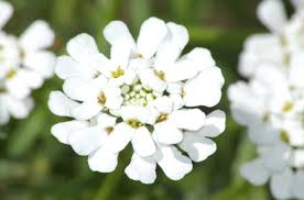 candytuft flowers growing eye candy for your garden