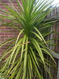 Large Indoor Plants Pruning Yucca Plants How To Prune A Yucca Yucca Plant Plants