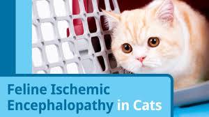 feline ischemic encephalopathy in cats petmd