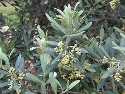 olive plant britannica