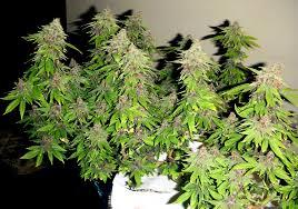 photoperiod vs autoflowering marijuana strains by easilyused