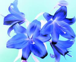 blue lilies blue lilies masahiko taniguchi flickr