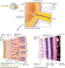 part 1 the eye and vision 15 1 the eye has three layers a lens