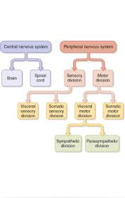 Anatomy And Physiology 7th Edition Saladin 22 Best Neuroanatomy Images On Pinterest Quizes Created By And