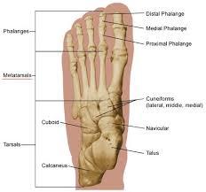 Anatomy Of The Calcaneus Foot Anatomy