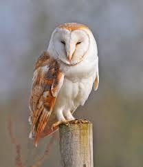 North American Barn Owl Barn Owls