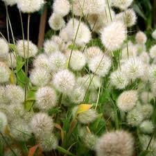 bunny tails ornamental grass 20 seeds flower pot hanger