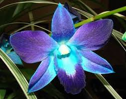 blue orchid flower best 25 blue orchid tattoo ideas on colorful flower