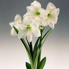 amaryllis flower how to grow amaryllis bulbs as easy indoor houseplants