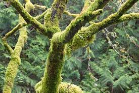 is green moss on trees harmful inexpensive tree care