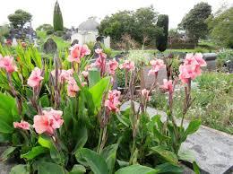 canna lilies canna lilies tikorangi the jury garden