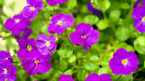 100 hd flower images spring wallpapers hd