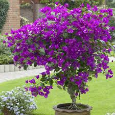buy bougainvillea lilac plants j parker dutch bulbs