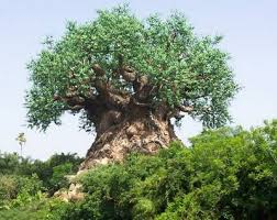 baobab ornamental trees can grow in indonesia decorationplants
