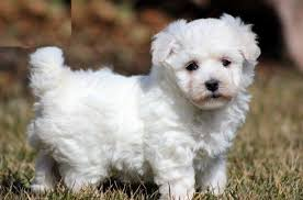 bichon frise dog breeders pet unicorns for sale that are real handsome bichon frise