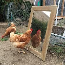 Chicken Backyard by Chicken Mirror Backyard Pasture Raised Chickens Pinterest