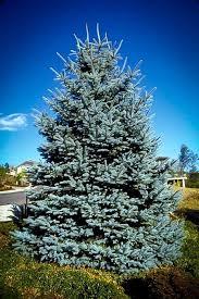 best 25 blue spruce ideas on evergreen trees