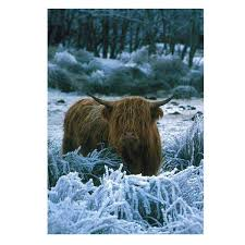 cow greeting cards photowrap highland cow greeting card 1 95
