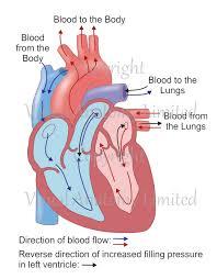 Heart External Anatomy Turtle Heart Anatomy Gallery Learn Human Anatomy Image
