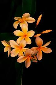 best 25 plumeria flowers ideas on pinterest colorful flowers