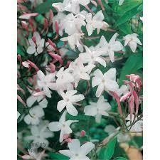 Fragrant Jasmine Plant - fragrant jasmine plant u2013 gardenstore