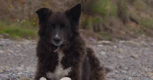 belgian sheepdog mixed with border collie brown border collie mix dog with pink collar lies panting on warm