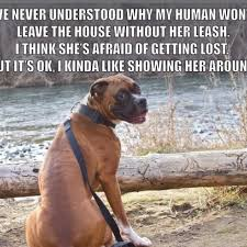 boxer dog funny 157 best funny boxer dog pics images on pinterest boxer love