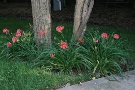 day lilies daylilies day day lilies daylilies for sale tiger lilies