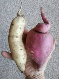 tricolor osp tubers paled by comparison gardening