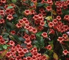 Non Invasive Climbing Plants - vines of the southeast attract birds and other wildlife with