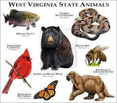 West Virginia wildlife images Wildlife art west virginia state animals jpg