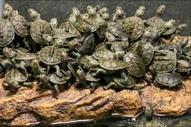 Texas Map Turtle Hundreds Of Smuggled Turtles Intercepted At Anchorage Airport