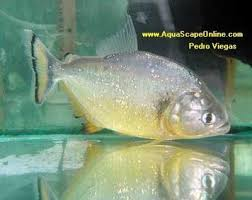 Aquascape Online Gold Piranha 7