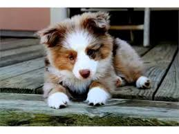 australian shepherd double coat australian shepherd red merle mini picture collection and ideas