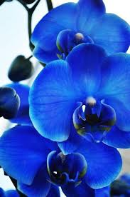 blue orchid flower best 25 blue orchids ideas on blue orchid wedding