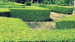 Teh Tehan cara memperbanyak pohon teh tehan dan ciri acalypha siamensis