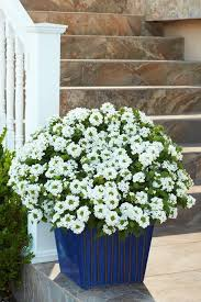 Flowering Patio Plants 55 Best Single Plants For Containers Images On Pinterest Proven