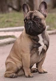 french bulldog health problems feeding raising a puppy