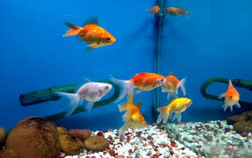 ornamental fish farming how to start basic guide