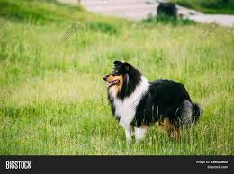 australian shepherd vocal shetland sheepdog sheltie collie outdoor in summer grass at