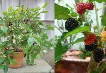 How To Grow Grapes In Your Backyard by Growing Grapes In Containers How To Grow Grapes In Pots U0026 Care