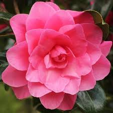 fall blooming flowers long blooming camellias