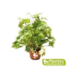 plante d駱olluante chambre plante d intérieur dépolluante cissus vigne d appartement