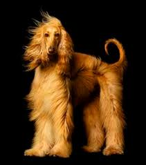 afghan hound teeth manny that u0027s a whole lot of hair dogs pinterest afghan