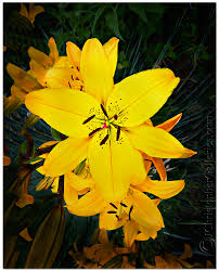 Yellow Lilies Yellow Lily Medley Photograph