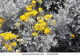 Tree With Bright Yellow Flowers - bee on bright yellow flowers hardy stock photo 335022098