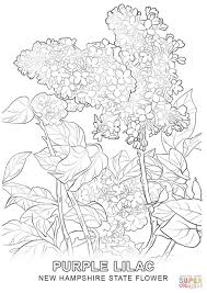 new hampshire state flower coloring page free printable coloring